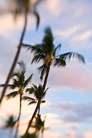 Hawaii, Palm trees with blur around edges at sunrise