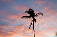 Hawaii, Palm tree with pink clouds at sunset (thumbnail)