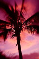 Hawaii, Palm tree silhouette with pink clouds at sunset