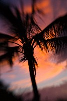Hawaii, Palm tree silhouette with orange clouds at sunset (thumbnail)