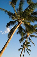 Palm trees in bright blue sky