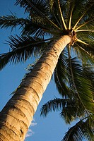 View from below of palm tree in bright blue sky