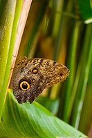 A beautiful brown butterfly rests amongst green leaves