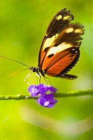 A beautiful brown and orange butterfly rests upon a bright purple flower