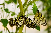 Two beautiful yellow and black butterflies cling to a green plant