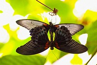 Two beautiful black and red butterflies mating