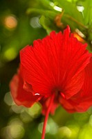 Red hibiscus with stamen pointing down and petals floating up like wings (thumbnail)
