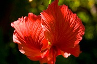 Red hibiscus with stamen pointing down and petals floating up like wings