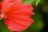 Red hibiscus with petals floating outward like fairy wings