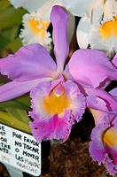 Close-up of a purple cattleya orchid