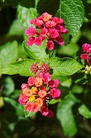 Blossoms of bright pink lantana among green leaves