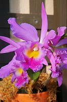 Bright pink cattleya orchids grow from a pot
