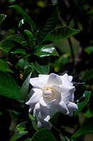Beautiful white gardenia among green leaves
