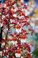 Branches of red and white dendrobium orchids