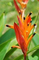 Close-up of orange and red heliconia