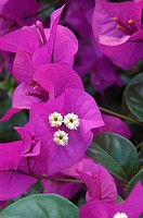 Close-up of bright pink Bougainvillaea