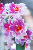 Branch of pink and white orchids