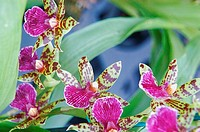 Exotic pink and green orchids with brown spots