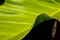 Close-up of a green leaf, edge of leaf contrasting against a dark background