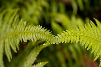 Close-up of bright green ferns crossing each other at the top
