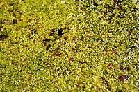 Hundreds of green leaves growing over the top of a pond (thumbnail)