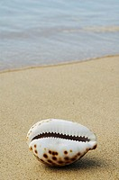 Opening side of cowrie shell, laying on sandy beach, ocean background
