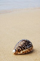 Cowrie shell laying on sandy beach with ocean background (thumbnail)