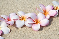 Pink and white plumeria blossoms on sand
