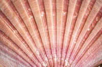 Close-up detail of a pink scallop shell