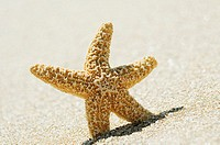 Orange seastar standing upright in sand