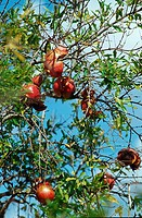 Pomegranate, on, tree, Majorca, Balearic, Islands, Spain, Punica, granatum,