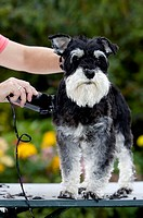 Miniature, Schnauzer, black-silver, beeing, sheared, Germany,