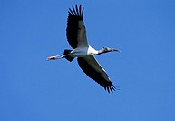 Woodstork, Everglades, national, park, Florida, USA, Mycteria, americana, American, Wood, Ibis,