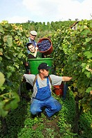 Vinegrower, with, family, harvesting, vine,