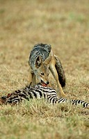 Black-backed, Jackal, at, carcass, of, Zebra, Masai, Mara, Game, Reserve, Kenya, Canis, mesomelas,