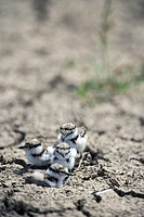 Little, Ringed, Plover, chicks, Bulgaria, Charadrius, dubius,