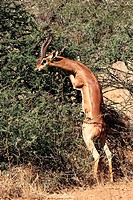 Gerenuk, male, Samburu, game, reserve, Kenya, Litocranius, walleri,