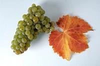 Grapes, ´Riesling´, Vitis, vinifera,