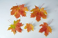 Norway, Maple, leaves, Acer, platanoides,