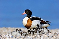 Shelduck, female, with, goslings, Texel, Netherlands, Tadorna, tadorna,