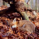 Red, Fox, sleeping, in, autumn, foliage, Vulpes, vulpes,