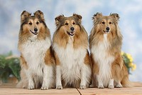 Shelties, Shetland, Sheepdog