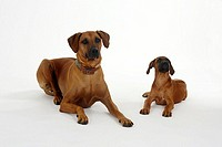 Rhodesian, Ridgeback, with, puppy, 10, weeks,