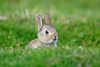 Young, European, Rabbit, England, Oryctolagus, cuniculus,