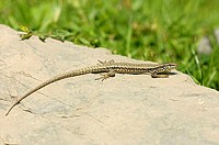 Wall, Lizard, male, Spain, Podarcis, muralis, Lacerta, muralis,