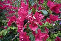 Flower, Santa Elena, Costa Rica