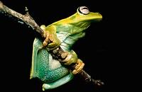 Green tree frog, Hyla albomarginata, Hylidae, 2002, Guarapari. Espirito Santo, Brazil