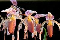 Orchids paphiopedilums