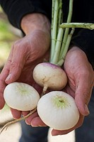 Hands holding three turnips