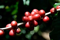 Arabica quality coffee beans. Coffee plantations near Poas volcano. Central Valley. Costa Rica. Central America